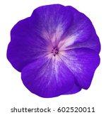 Violet  Flower Geranium.  Whit...