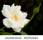 Delicate White Rose After Heav...