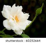 Delicate White Rose After Heav...