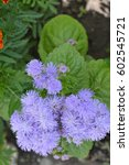 Small photo of Ageratum houstonianum. Ageratum Mexican. Ageratum houstonianum. Garden plants. Flower. Close-up