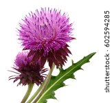 A Spring Young Thistle Flower...