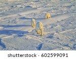 Polar Bear Walking With Her...