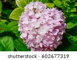 Soft Pink Hydrangea Bush