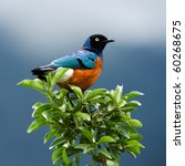 superb starling.the orange blue ... | Shutterstock . vector #60268675