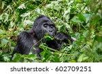 mountain gorilla eating plants. ... | Shutterstock . vector #602709251