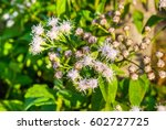 Small photo of Closeup to White Bitter Bush, Siam Weed [Ageratum conyzoides Linn.]