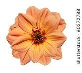 Beautiful Orange Dahlia Flower  Isolated on White Background - stock photo