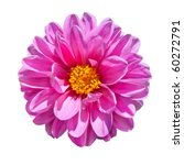 Beautiful Pink Dahlia Flower with Yellow Center  Isolated on White Background - stock photo