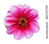 Beautiful Pink Purple Dahlia Flower Isolated on White Background - stock photo