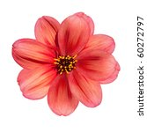 Stock photo beautiful red dahlia flower isolated on white background 60272797