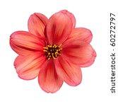 Stock photo beautiful red dahlia flower isolated on white background 60272797