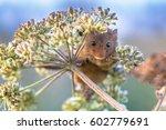 Eurasian Harvest Mouse ...