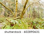 Underbrush In Redwood  Sequoia...
