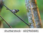 Small photo of Aegithalos concinnus,Birds of Thailand(Doi Sun Juh) Chiang Mai.