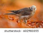 autumn in orange forest. lanner ... | Shutterstock . vector #602983355