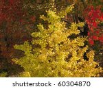 The colors of Japanese Maple trees in the fall. - stock photo