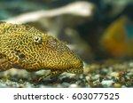Aquarium Fish Catfish Ancistru...