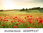 Wunderful Poppy Field In Late...