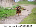Stock photo dog running with stick playful dog dog running with stick 603139817