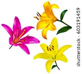 Set Of Lily Flowers Isolated O...