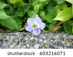 Chinese Violet   Creeping...