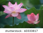 Two Flowers Of Lotus