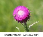 thistle flower with bee on it | Shutterstock . vector #603369584