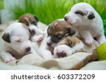 Puppies Of Smooth Fox Terrier