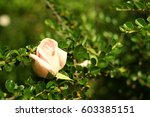 close up view of a summer rose... | Shutterstock . vector #603385151