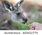 baby kangaroo  jervis bay... | Shutterstock . vector #603422774