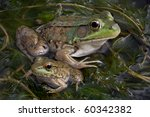 A Baby And Adult Bull Frog Are...