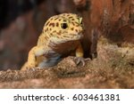 Leopard Gecko Lizard  Close Up...