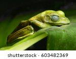Green Tree Frog Sleep On The...
