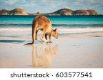 kangaroo at lucky bay in the...   Shutterstock . vector #603577541