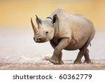 Black Rhinoceros Walking On...