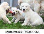Stock photo golden retriever puppy 60364732