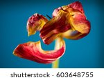 colorful tulip flower at blue... | Shutterstock . vector #603648755