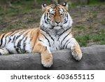 siberian tiger | Shutterstock . vector #603655115