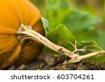 close up of pumpkin growing on... | Shutterstock . vector #603704261
