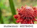 beautiful red etlingera elatior ... | Shutterstock . vector #603784541