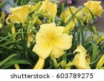 daylily flowers bloom in the... | Shutterstock . vector #603789275