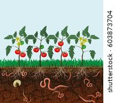 ground cutaway with tomato... | Shutterstock .eps vector #603873704