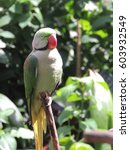 Small photo of Alexandrine parakeet or Alexandrian parrot (Psittacula eupatria)