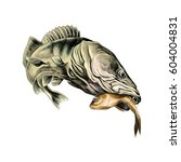 predatory fish pike caught and... | Shutterstock .eps vector #604004831