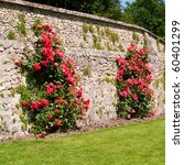 Roses In Villandry  France