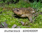 toad migrating to breeding pond ... | Shutterstock . vector #604040009