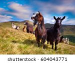 flock of sheep and goats in the ... | Shutterstock . vector #604043771