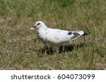 White Pigeon Walking On The...