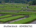 Farmer On The Ricefield
