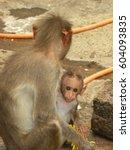 Female Bonnet Macaque Monkey...